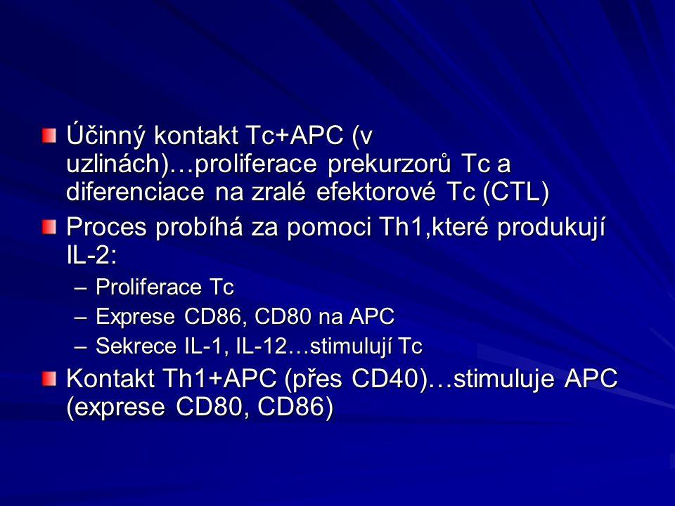 Účinný kontakt Tc+APC (v uzlinách)…proliferace prekurzorů Tc a diferenciace na zralé efektorové Tc (CTL) Proces probíhá za pomoci Th1,které produkují
