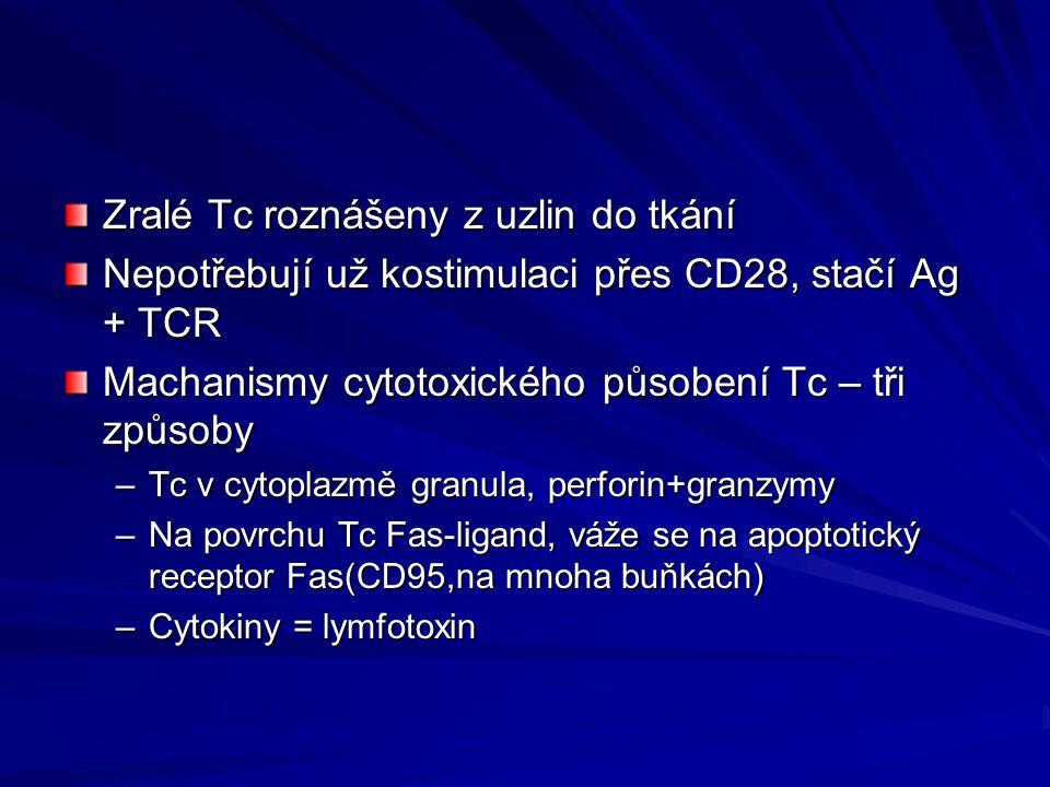 Zralé Tc roznášeny z uzlin do tkání Nepotřebují už kostimulaci přes CD28, stačí Ag + TCR Machanismy cytotoxického působení Tc – tři způsoby –Tc v cyto