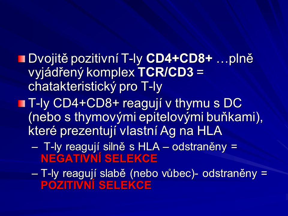 Dvojitě pozitivní T-ly CD4+CD8+ …plně vyjádřený komplex TCR/CD3 = chatakteristický pro T-ly T-ly CD4+CD8+ reagují v thymu s DC (nebo s thymovými epite