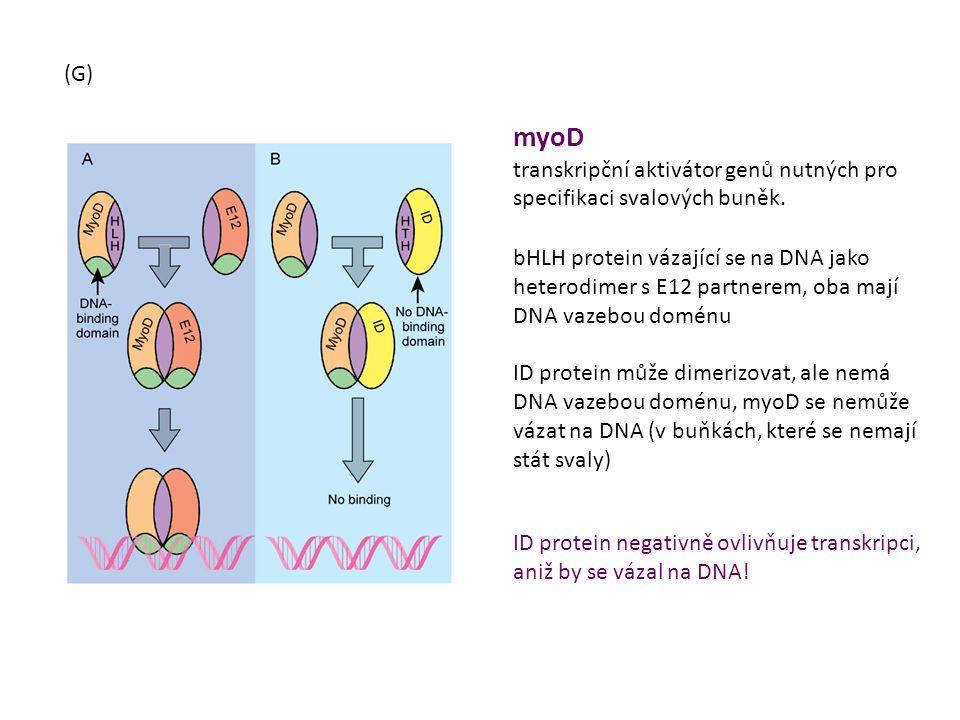 myoD transkripční aktivátor genů nutných pro specifikaci svalových buněk. bHLH protein vázající se na DNA jako heterodimer s E12 partnerem, oba mají D