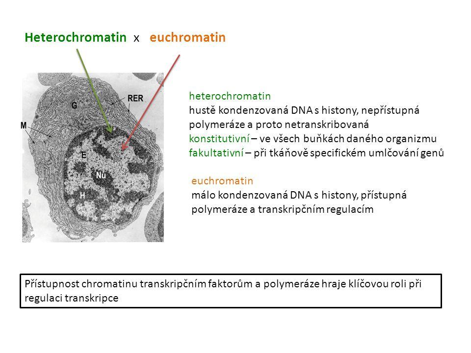 Heterochromatin x euchromatin Přístupnost chromatinu transkripčním faktorům a polymeráze hraje klíčovou roli při regulaci transkripce heterochromatin
