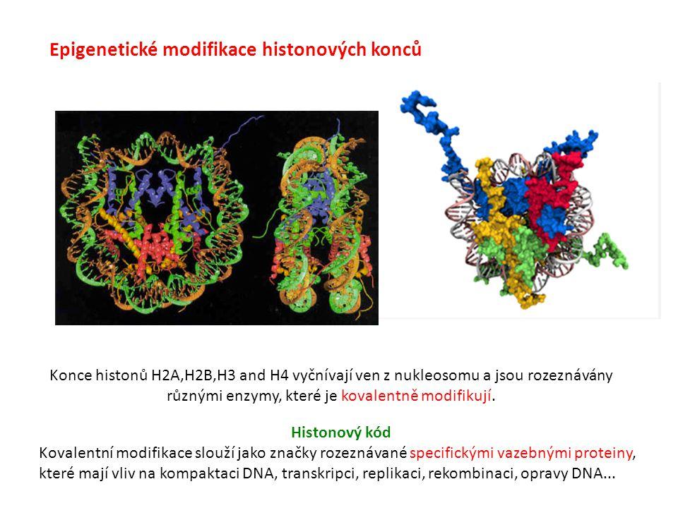 Epigenetické modifikace histonových konců Konce histonů H2A,H2B,H3 and H4 vyčnívají ven z nukleosomu a jsou rozeznávány různými enzymy, které je koval