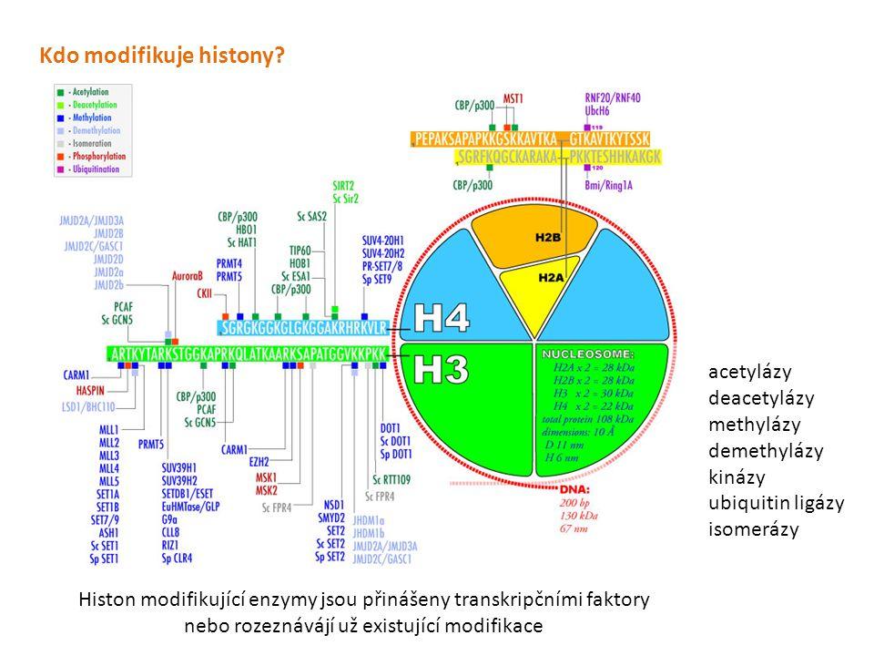 Histon modifikující enzymy jsou přinášeny transkripčními faktory nebo rozeznávájí už existující modifikace Kdo modifikuje histony? acetylázy deacetylá