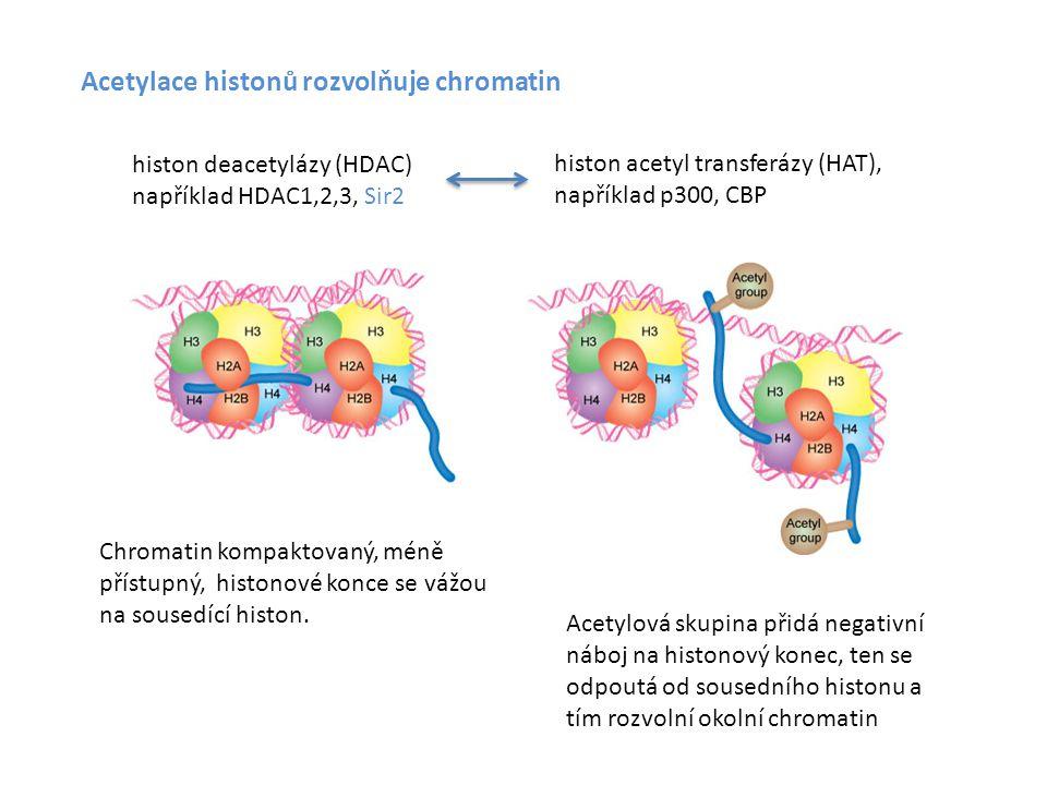 Acetylace histonů rozvolňuje chromatin Acetylová skupina přidá negativní náboj na histonový konec, ten se odpoutá od sousedního histonu a tím rozvolní