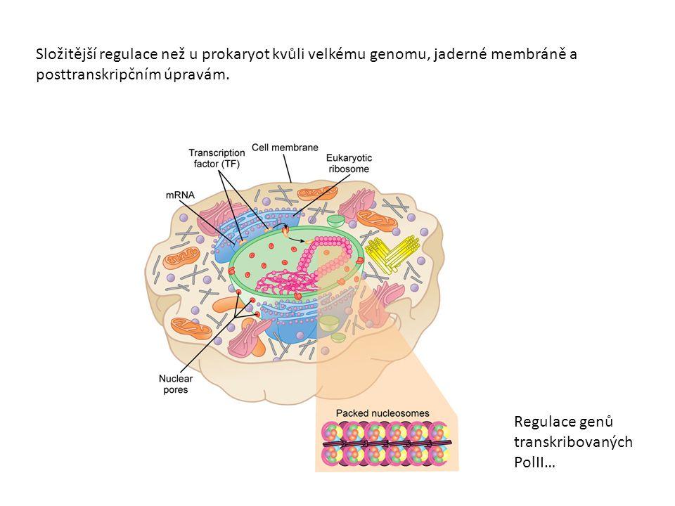 Složitější regulace než u prokaryot kvůli velkému genomu, jaderné membráně a posttranskripčním úpravám. Regulace genů transkribovaných PolII…
