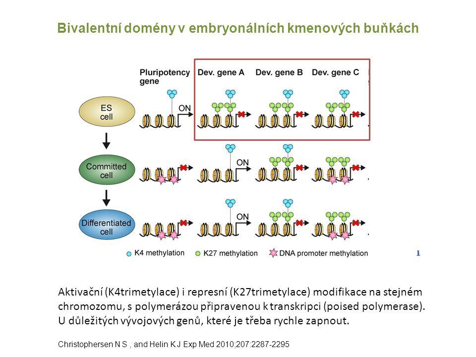 Bivalentní domény v embryonálních kmenových buňkách Christophersen N S, and Helin K J Exp Med 2010;207:2287-2295 Aktivační (K4trimetylace) i represní