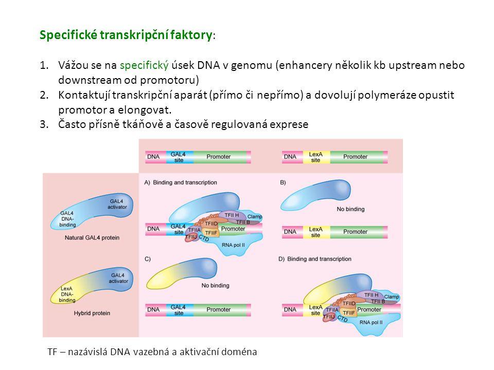 Specifické transkripční faktory : 1.Vážou se na specifický úsek DNA v genomu (enhancery několik kb upstream nebo downstream od promotoru) 2.Kontaktují