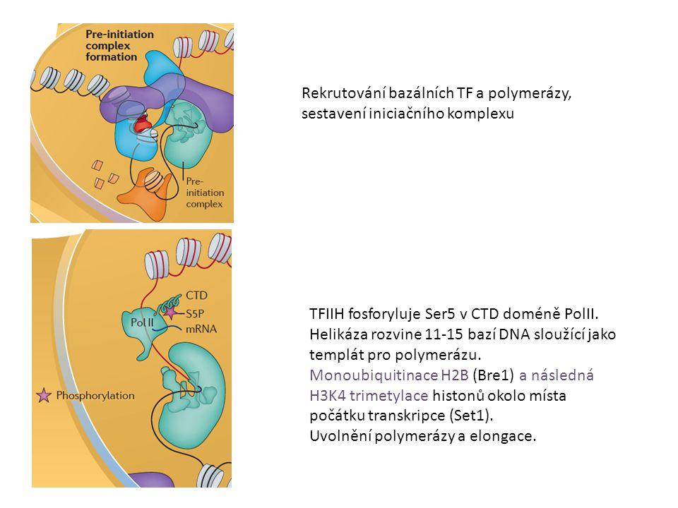 Rekrutování bazálních TF a polymerázy, sestavení iniciačního komplexu TFIIH fosforyluje Ser5 v CTD doméně PolII. Helikáza rozvine 11-15 bazí DNA slouž