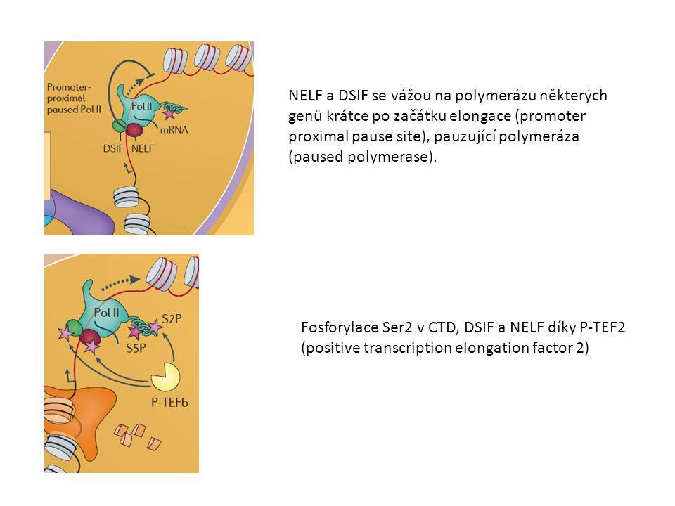 NELF a DSIF se vážou na polymerázu některých genů krátce po začátku elongace (promoter proximal pause site), pauzující polymeráza (paused polymerase).