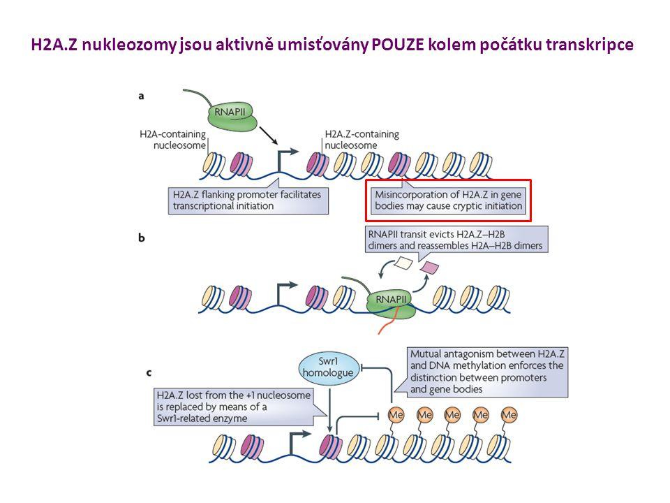 H2A.Z nukleozomy jsou aktivně umisťovány POUZE kolem počátku transkripce