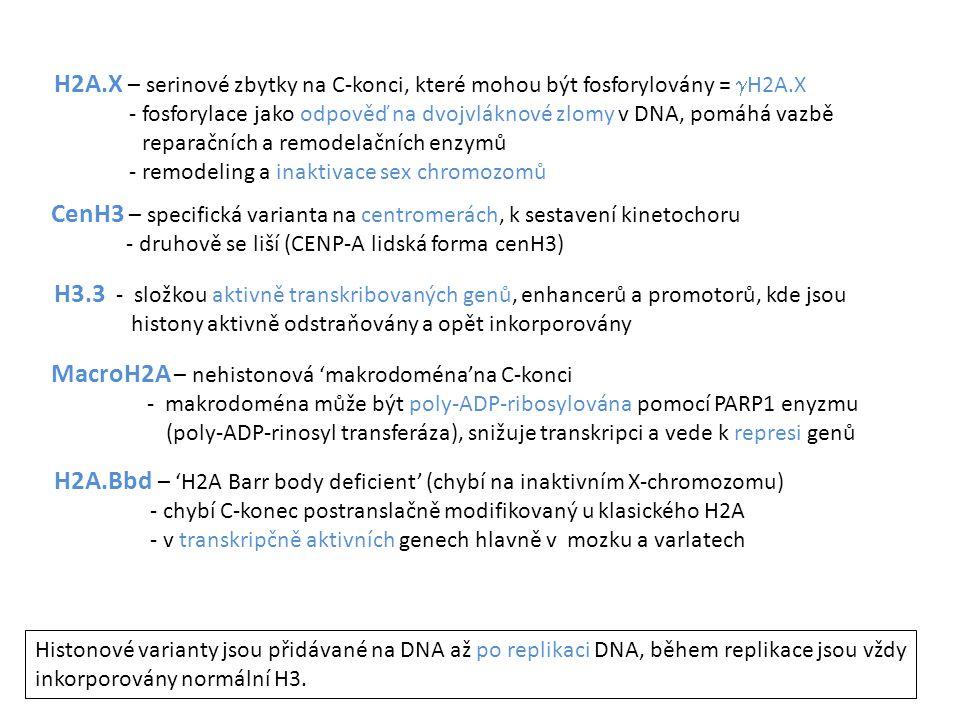 H2A.X – serinové zbytky na C-konci, které mohou být fosforylovány =  H2A.X - fosforylace jako odpověď na dvojvláknové zlomy v DNA, pomáhá vazbě repar