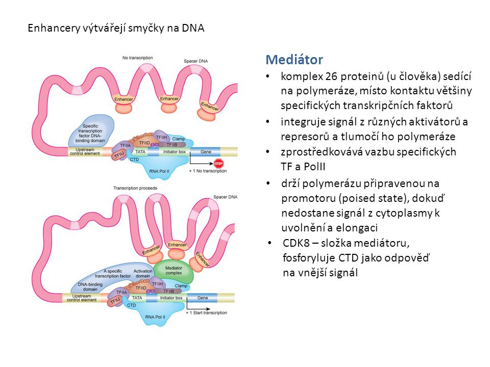 Mediátor komplex 26 proteinů (u člověka) sedící na polymeráze, místo kontaktu většiny specifických transkripčních faktorů Enhancery výtvářejí smyčky n