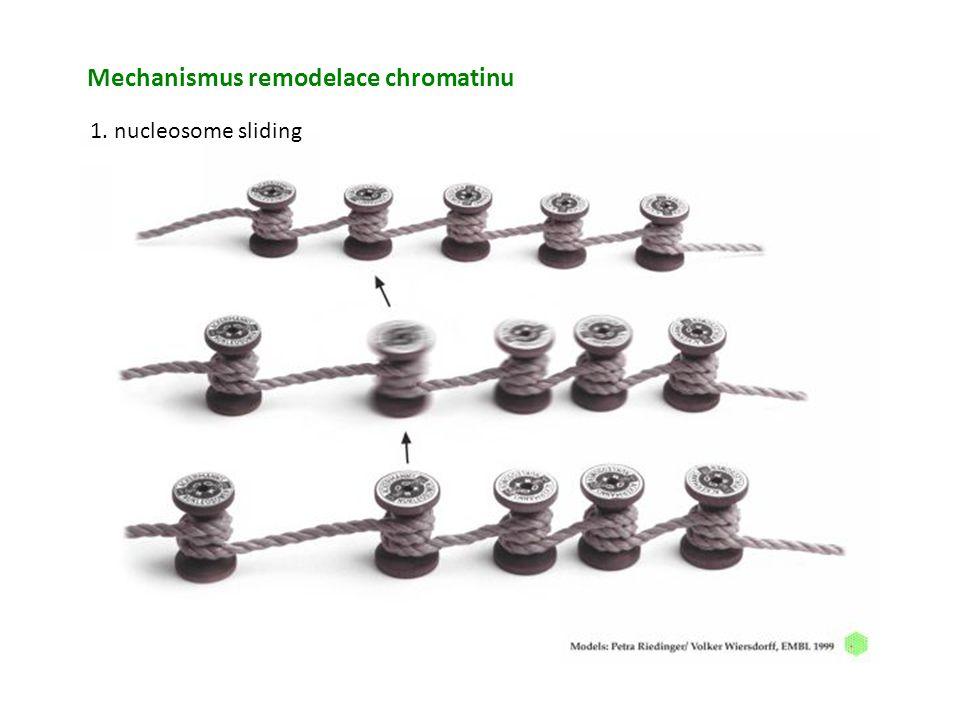 Mechanismus remodelace chromatinu 1. nucleosome sliding