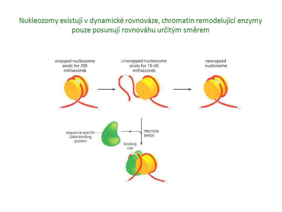 Nukleozomy existují v dynamické rovnováze, chromatin remodelující enzymy pouze posunují rovnováhu určitým směrem