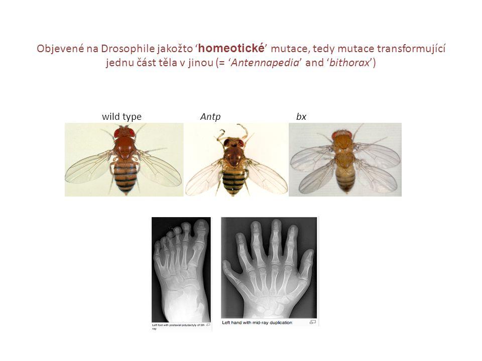 wild type Antp bx Objevené na Drosophile jakožto ' homeotické ' mutace, tedy mutace transformující jednu část těla v jinou (= 'Antennapedia' and 'bith