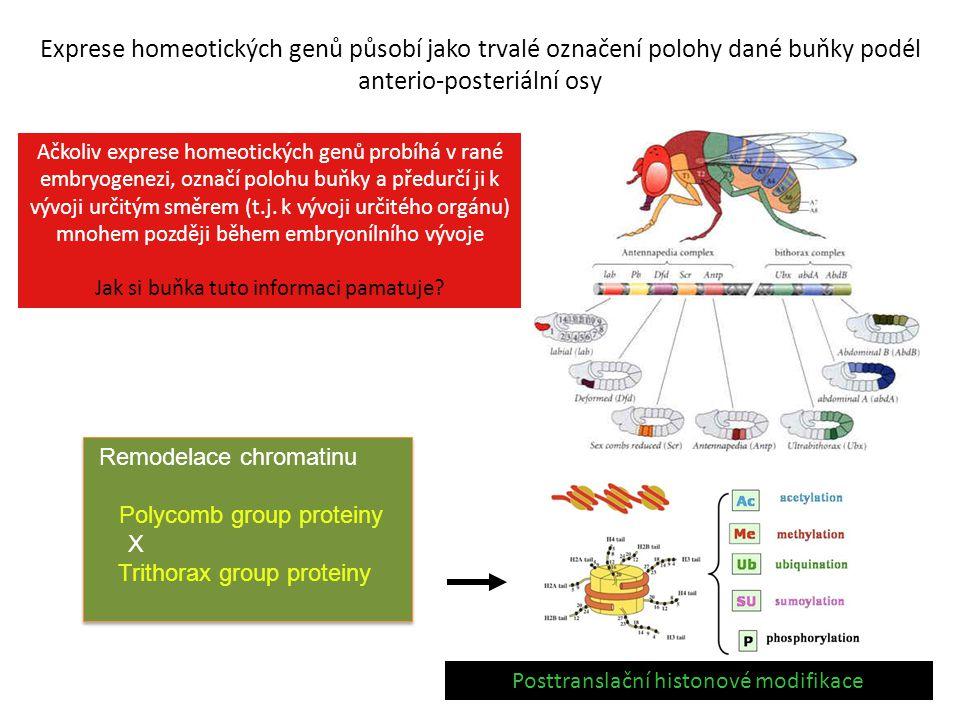 Exprese homeotických genů působí jako trvalé označení polohy dané buňky podél anterio-posteriální osy Remodelace chromatinu Polycomb group proteiny X