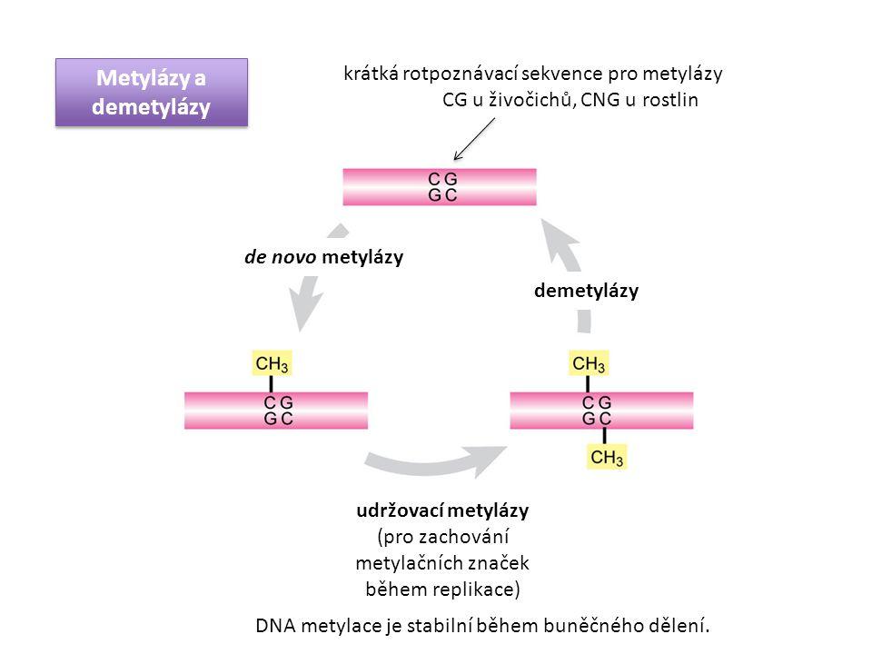 krátká rotpoznávací sekvence pro metylázy CG u živočichů, CNG u rostlin udržovací metylázy (pro zachování metylačních značek během replikace) demetylá