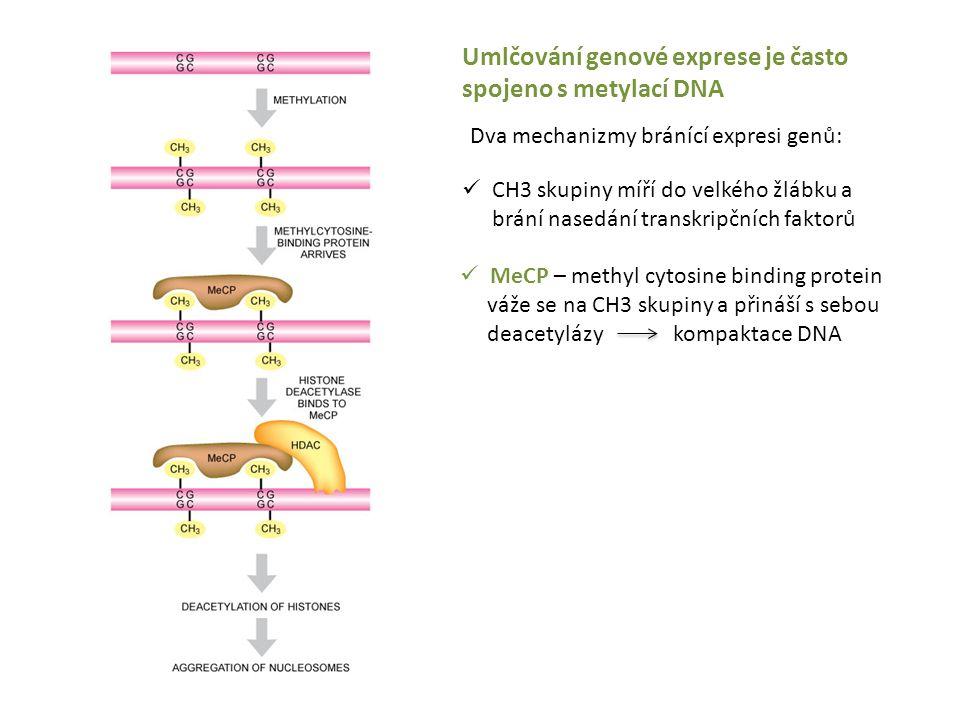 Umlčování genové exprese je často spojeno s metylací DNA MeCP – methyl cytosine binding protein váže se na CH3 skupiny a přináší s sebou deacetylázy k
