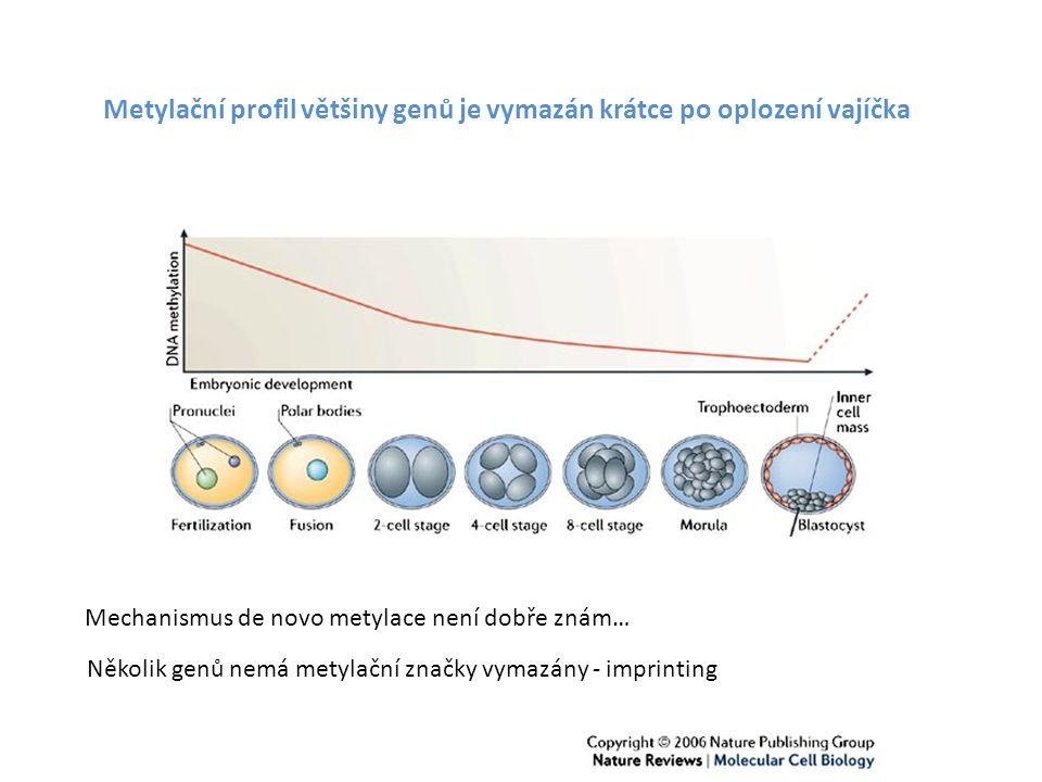 Metylační profil většiny genů je vymazán krátce po oplození vajíčka Mechanismus de novo metylace není dobře znám… Několik genů nemá metylační značky v