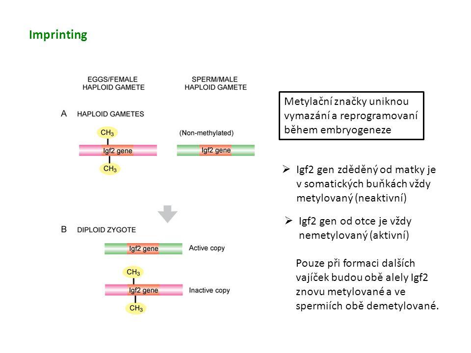 Imprinting Metylační značky uniknou vymazání a reprogramovaní během embryogeneze  Igf2 gen zděděný od matky je v somatických buňkách vždy metylovaný