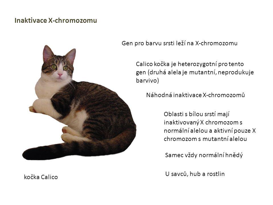 Inaktivace X-chromozomu Gen pro barvu srsti leží na X-chromozomu Calico kočka je heterozygotní pro tento gen (druhá alela je mutantní, neprodukuje bar