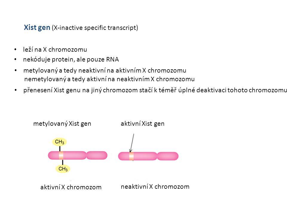 Xist gen (X-inactive specific transcript) leží na X chromozomu nekóduje protein, ale pouze RNA metylovaný a tedy neaktivní na aktivním X chromozomu ne