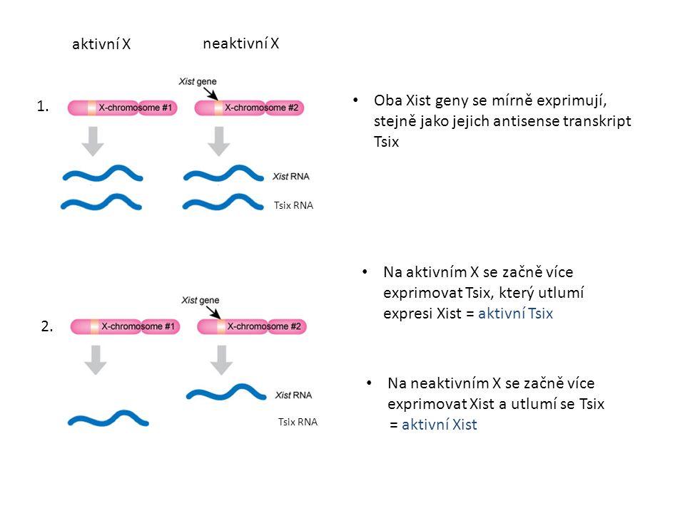 Oba Xist geny se mírně exprimují, stejně jako jejich antisense transkript Tsix Tsix RNA Na aktivním X se začně více exprimovat Tsix, který utlumí expr