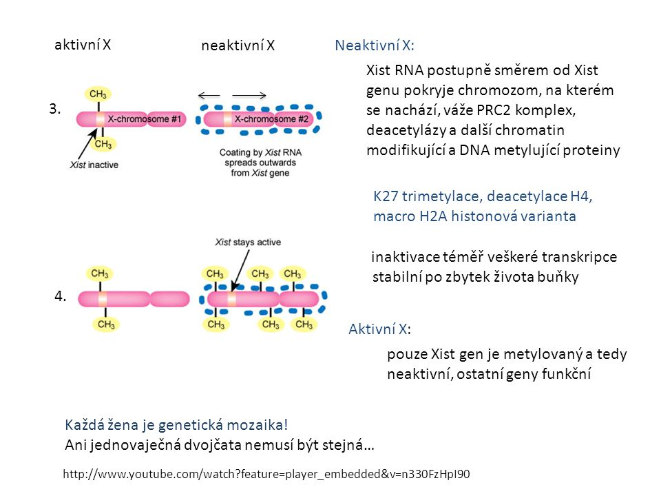stabilní po zbytek života buňky 3. 4. Xist RNA postupně směrem od Xist genu pokryje chromozom, na kterém se nachází, váže PRC2 komplex, deacetylázy a