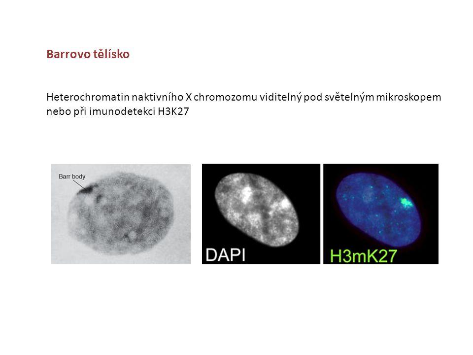 Barrovo tělísko Heterochromatin naktivního X chromozomu viditelný pod světelným mikroskopem nebo při imunodetekci H3K27