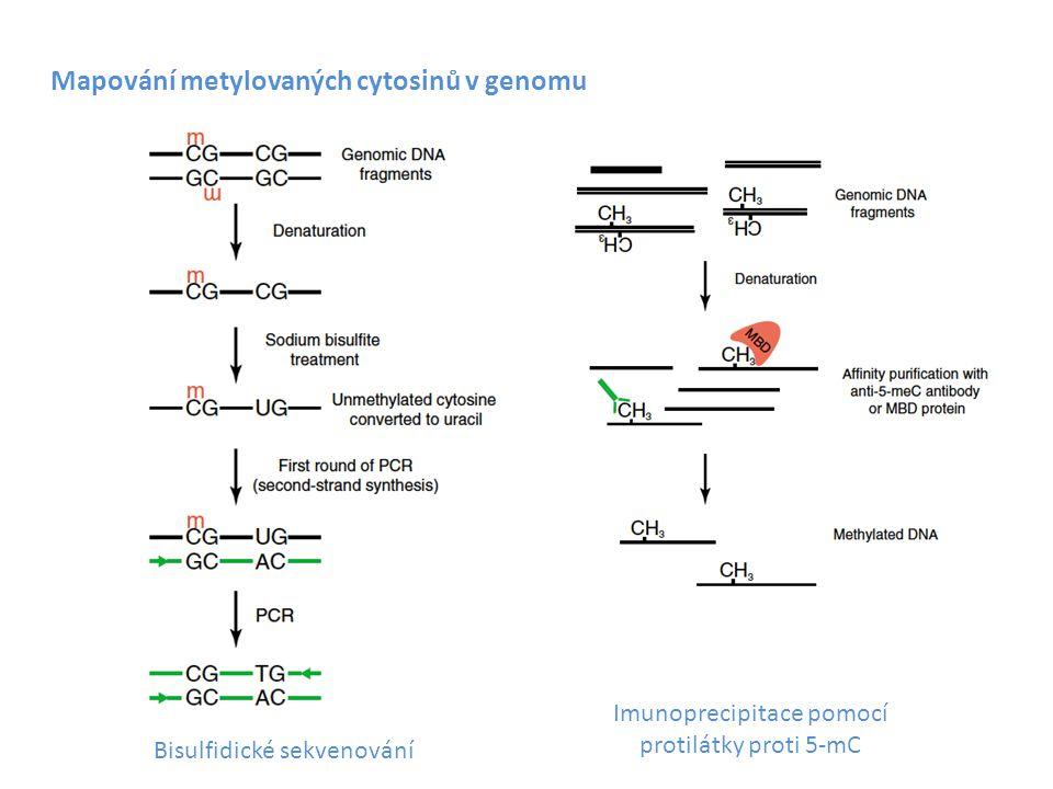 Mapování metylovaných cytosinů v genomu Bisulfidické sekvenování Imunoprecipitace pomocí protilátky proti 5-mC