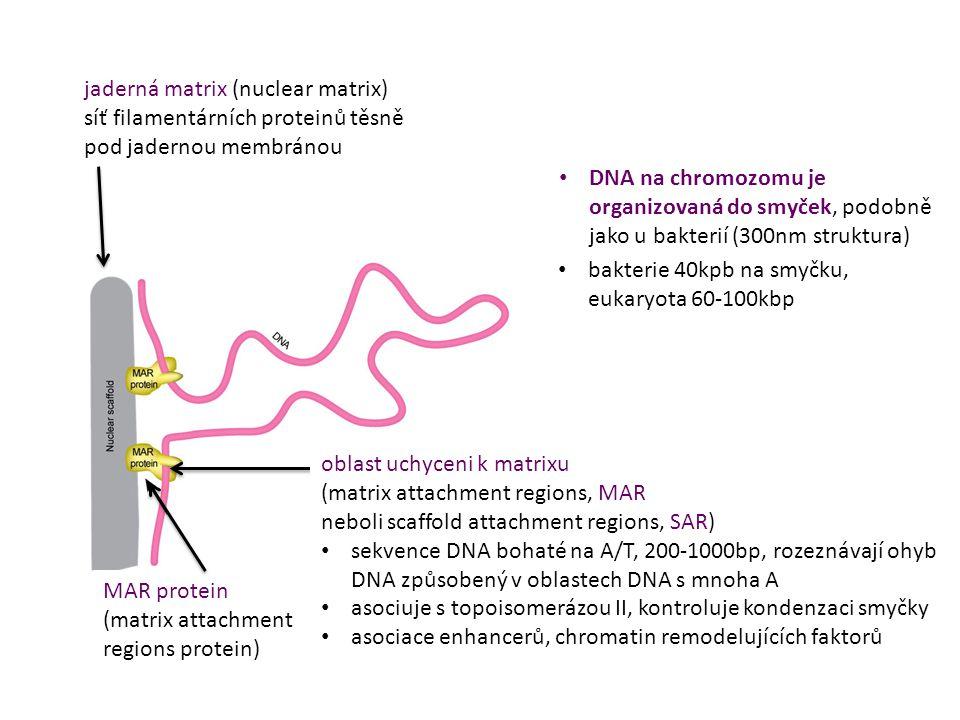 DNA na chromozomu je organizovaná do smyček, podobně jako u bakterií (300nm struktura) bakterie 40kpb na smyčku, eukaryota 60-100kbp jaderná matrix (n
