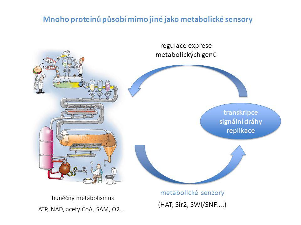 metabolism metabolické senzory transkripce signální dráhy replikace regulace exprese metabolických genů buněčný metabolismus (HAT, Sir2, SWI/SNF….) AT