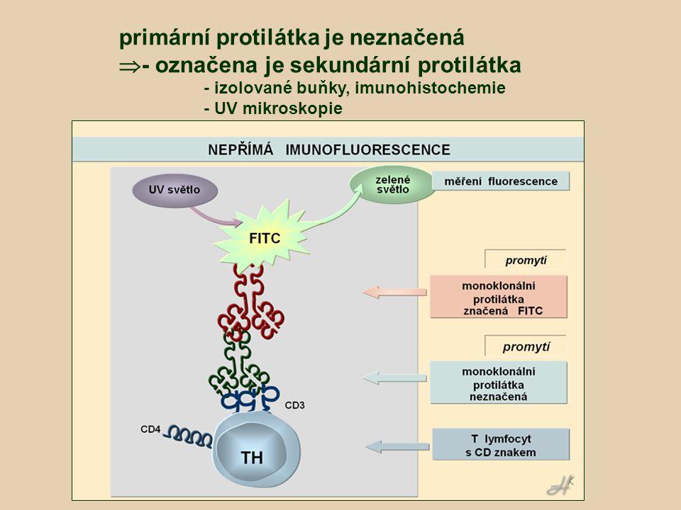 primární protilátka je neznačená  - označena je sekundární protilátka - izolované buňky, imunohistochemie - UV mikroskopie