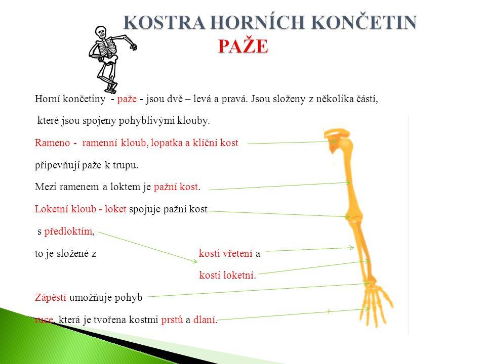 Horní končetiny - paže - jsou dvě – levá a pravá. Jsou složeny z několika částí, které jsou spojeny pohyblivými klouby. Rameno - ramenní kloub, lopatk