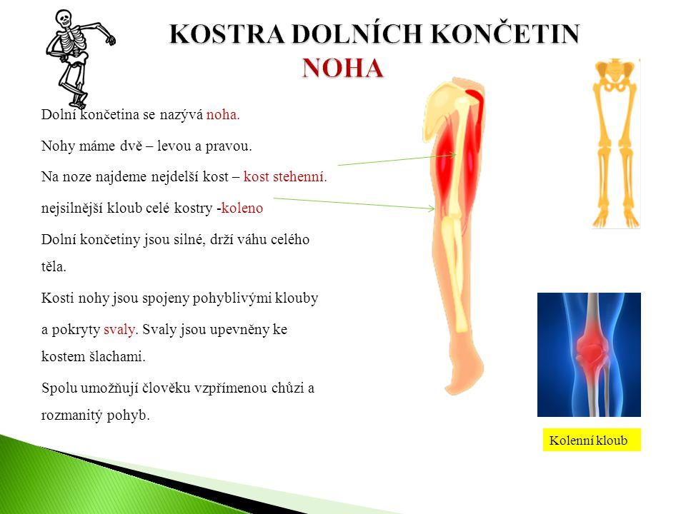 Dolní končetina se nazývá noha. Nohy máme dvě – levou a pravou. Na noze najdeme nejdelší kost – kost stehenní. nejsilnější kloub celé kostry -koleno D