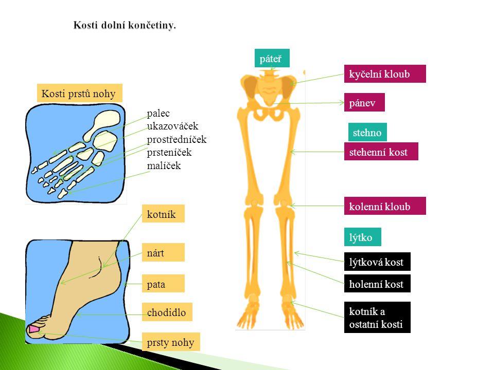 kotník nárt pata chodidlo prsty nohy Kosti prstů nohy palec ukazováček prostředníček prsteníček malíček kyčelní kloub pánev stehenní kost kolenní klou