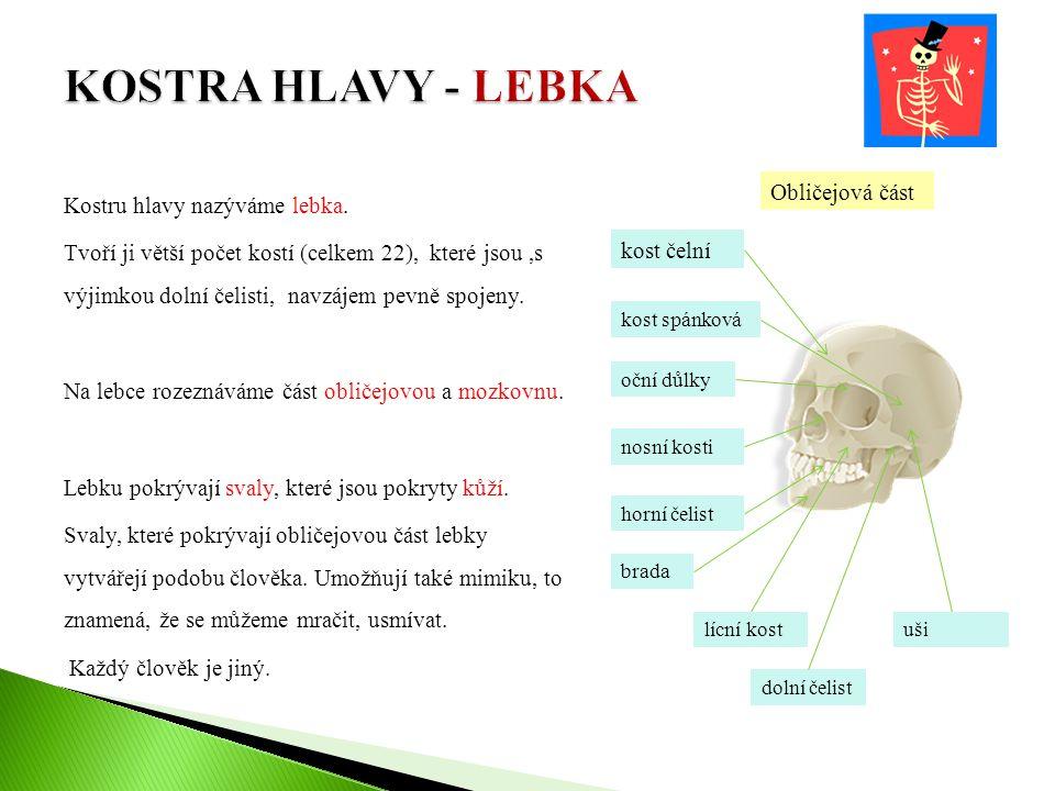 Kostru hlavy nazýváme lebka. Tvoří ji větší počet kostí (celkem 22), které jsou,s výjimkou dolní čelisti, navzájem pevně spojeny. Na lebce rozeznáváme