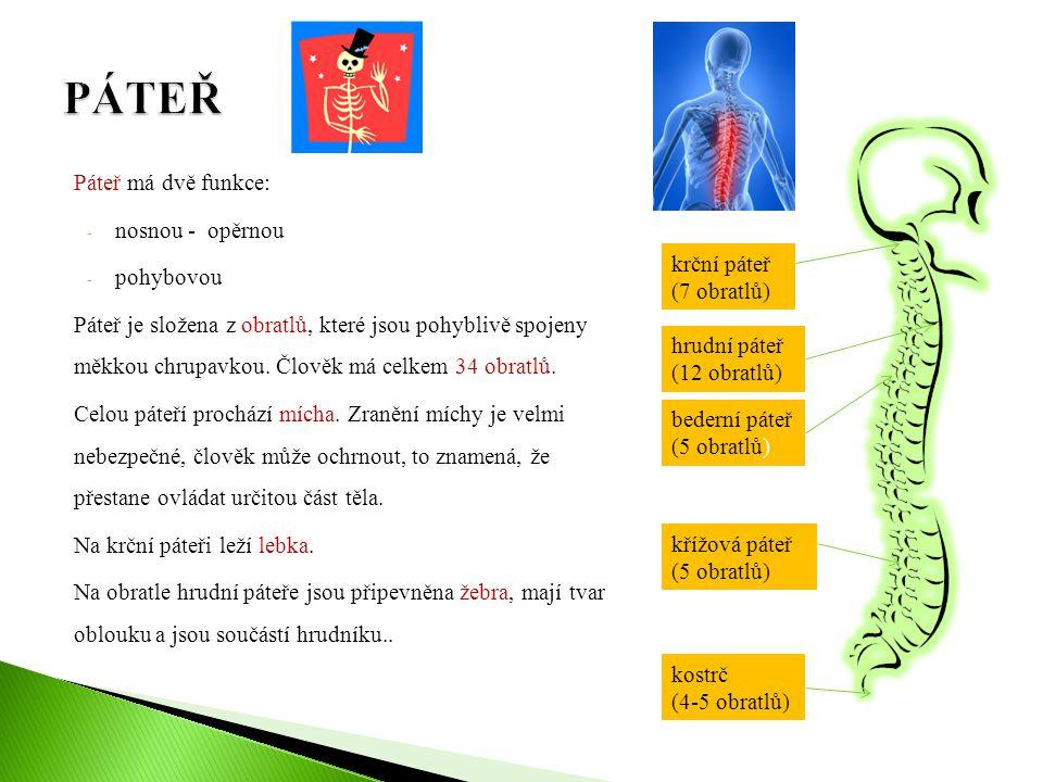 Páteř má dvě funkce: - nosnou - opěrnou - pohybovou Páteř je složena z obratlů, které jsou pohyblivě spojeny měkkou chrupavkou. Člověk má celkem 34 ob