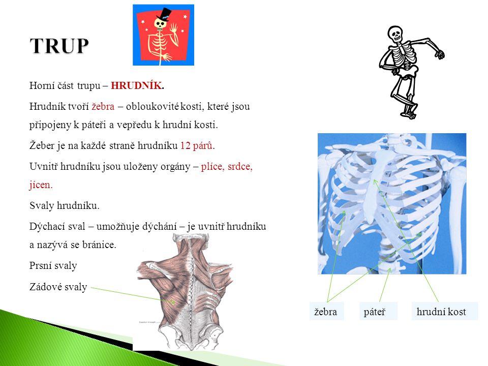 Horní část trupu – HRUDNÍK. Hrudník tvoří žebra – obloukovité kosti, které jsou připojeny k páteři a vepředu k hrudní kosti. Žeber je na každé straně
