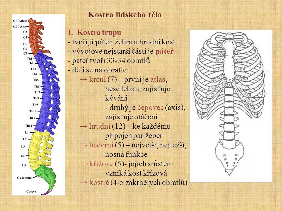 Obratle - směrem od hlavy se zvětšují - skládají se z těla a výběžků - odlišný je atlas (nemá obratlové tělo, tvořen 2 oblouky, na jejichž horní hraně se nacházejí 2 kloubní jamky - nasedají na ně hrboly týlní kosti ) a čepovec ( na horní straně se nachází čep, který se opírá o přední oblouk nosiče ) - otvor v obratlích tvoří páteřní kanál, kudy prochází mícha - obratle jsou odděleny meziobratlovými ploténkami