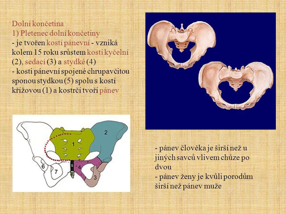 Dolní končetina 1) Pletenec dolní končetiny - je tvořen kostí pánevní - vzniká kolem 15 roku srůstem kosti kyčelní (2), sedací (3) a stydké (4) - kost