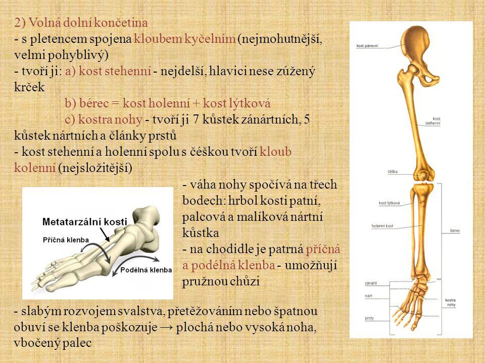 2) Volná dolní končetina - s pletencem spojena kloubem kyčelním (nejmohutnější, velmi pohyblivý) - tvoří ji: a) kost stehenní - nejdelší, hlavici nese