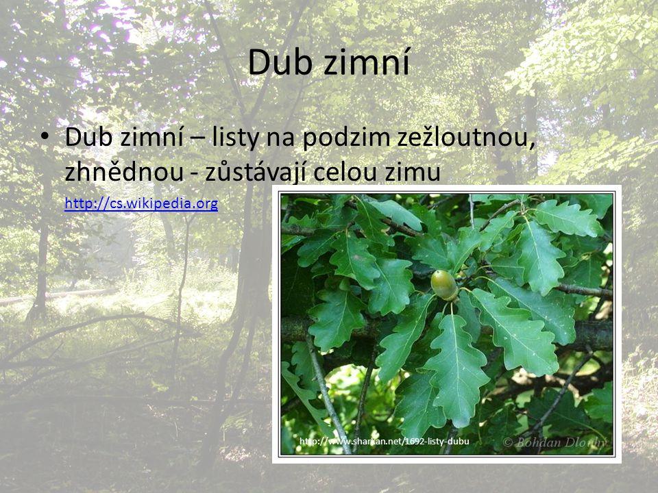 Dub zimní Dub zimní – listy na podzim zežloutnou, zhnědnou - zůstávají celou zimu http://cs.wikipedia.org http://www.sharkan.net/1692-listy-dubu