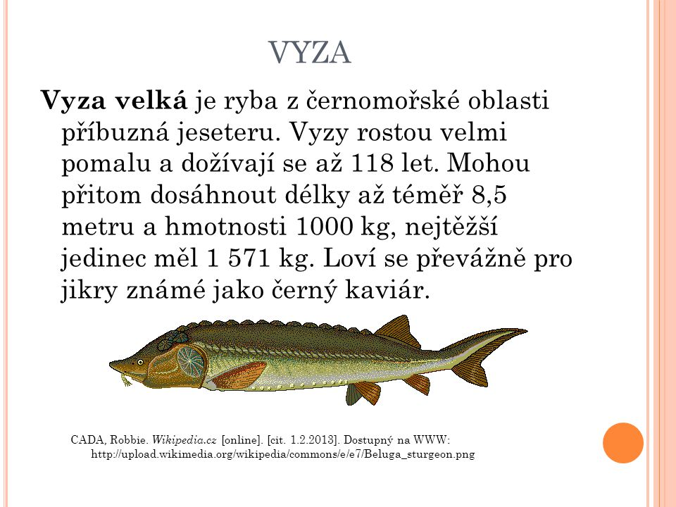 VYZA Vyza velká je ryba z černomořské oblasti příbuzná jeseteru. Vyzy rostou velmi pomalu a dožívají se až 118 let. Mohou přitom dosáhnout délky až té