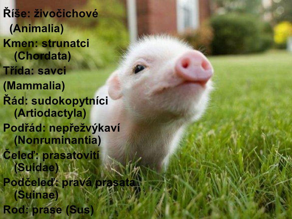 Říše: živočichové (Animalia) Kmen: strunatci (Chordata) Třída: savci (Mammalia) Řád: sudokopytníci (Artiodactyla) Podřád: nepřežvýkaví (Nonruminantia) Čeleď: prasatovití (Suidae) Podčeleď: pravá prasata (Suinae) Rod: prase (Sus)