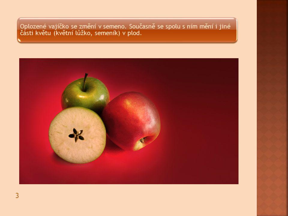 Oplozené vajíčko se změní v semeno. Současně se spolu s ním mění i jiné části květu (květní lůžko, semeník) v plod. 3