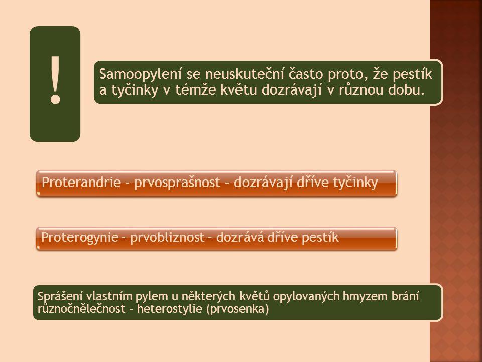 Průběh:Pylové zrno Jádro pylového zrna se mitózou rozdělí na 2 buňky – b.