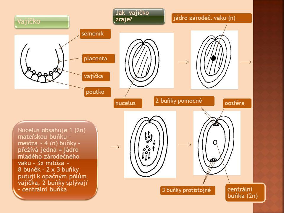 Vajíčko semeníkplacentavajíčka poutko Jak vajíčko zraje? 2 buňky pomocnéoosféra centrální buňka (2n) 3 buňky protistojné nucelusjádro zárodeč. vaku (n