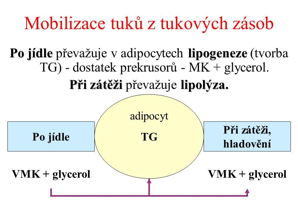 Mobilizace tuků z tukových zásob Po jídlelipogeneze Po jídle převažuje v adipocytech lipogeneze (tvorba TG) - dostatek prekrusorů - MK + glycerol.