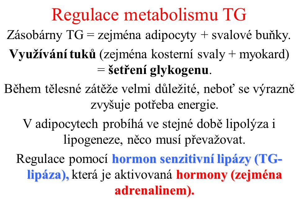 Regulace metabolismu TG Zásobárny TG = zejména adipocyty + svalové buňky.